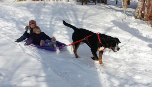 Cinna loves to pull sleds!