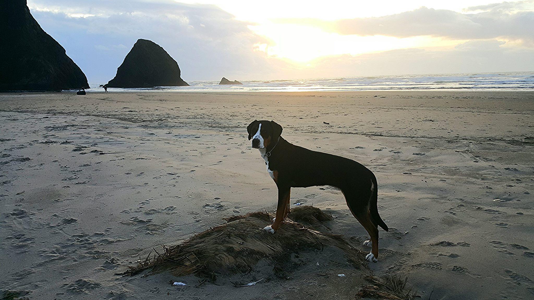 Beach dog (10 months)
